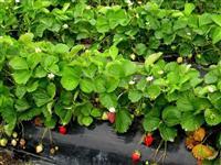 Sadnice jagoda Alba i Roksana