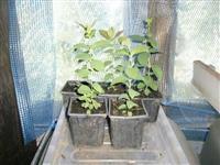 sadnice kamcatske borovnice