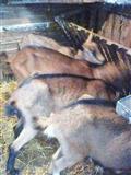 Koze prvojarke