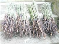 Pitomi sipurak