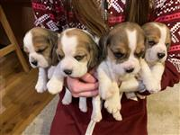 Pravilno Beagle Pups za rehoming.