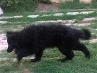 Crni nemacki ovcar
