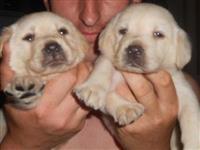 Labrador retriver - zuti stenci