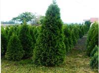 Tuja smaragd sadnice 5-300cm