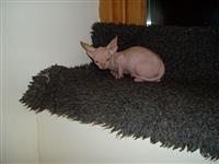 Sphynx Kitten Ženski za prodaju
