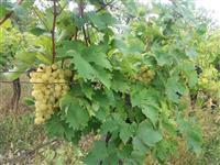 Vinograd na špalir sa vikendicom Raševica-Paraćin