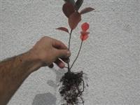 Jednogodisnje sadnice aronije sa potpunim kor