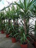Sobne i kancelarijske biljke-Juka