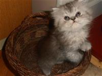 Persijska maca