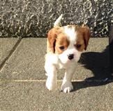 Prodaju se psi i štenci španjolskog kralja Charles