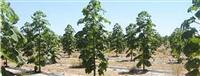 Paulovnija 9501 Hibrid 100 semena