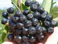 ARONIJA - plod odlicnog kvaliteta