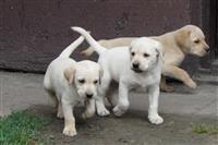 Labrador retriver stenad na prodaju