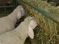 Prodajem ili menjam dve Vinterberg ovce