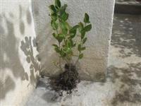 Sadnice aronije za jesen/zimu