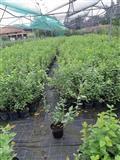 Sadnice borovnice od 3 godine usaksiji