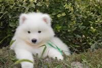 Sibirski haski i samojed stenci na prodaju