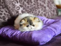 Persijski i exota macici