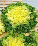 Salata Endivija domace seme