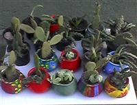 Kaktuse
