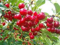 PRPORENE sadnice oblacinske visnje