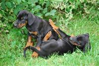 Lijepa Dobermann štenci