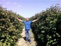 Prodaja sadnice maline Glen Emple