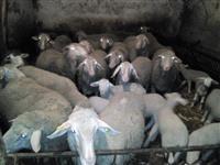 Prodajem Vinterberg ovce i jaganjce
