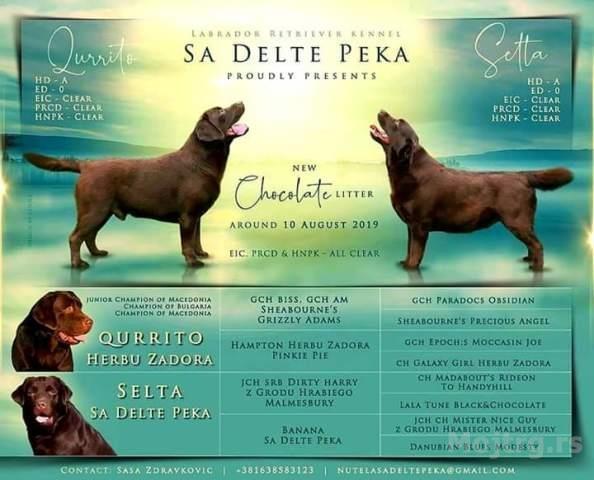 Čokoladni-štenci-Labrador-Retrivera