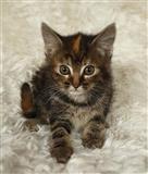 Lijep Maine Coon mačić