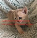 Prekrasna azijska mačkica
