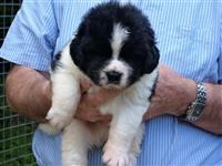 Newfoundland pups na prodaju