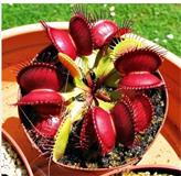 Seme biljke MESOZDERKE