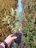 Sadnice borovnice, sertifikovane sadnice americke