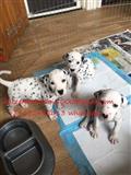 Lijepa dalmatinska štene
