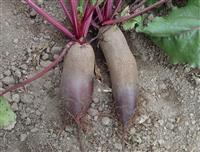 CVEKLA cilindricna organsko seme