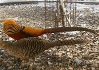 Zlatni fazani