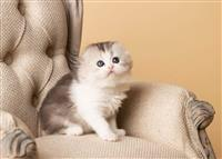 Prekrasna Scottish Fold & British Short