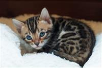 Prekrasni bengalski mačići