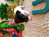 Jack Russell Terrier Pups!