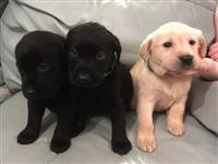 Lijepa Labrador štenci. K.C.reg. 3 Žuta i 3 Black.