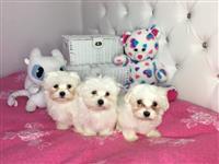Malteški psi i štenad na prodaju