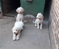Prodajem pse LAGOTO ROMAGNOLO