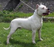 Argentinski pas - Dogo Argentino