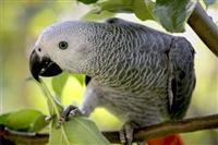 Prekrasne afričke sive papige i druge ptice