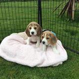 Beagle štenci dostupni