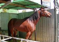 Rasan konj