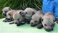 Čehoslovački vučji psi