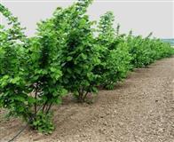 Plantaza  Lesnika