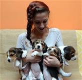 Bigl (beagle) stenci
